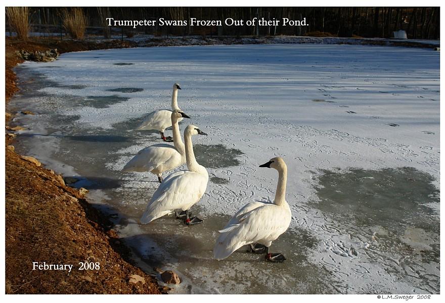 Trumpeter Swans Winter