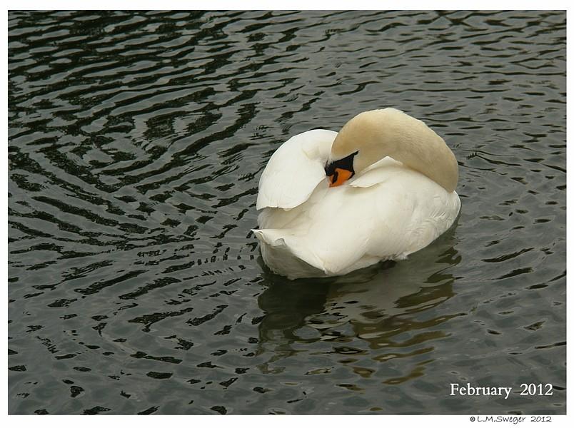 Floating Mute Swan
