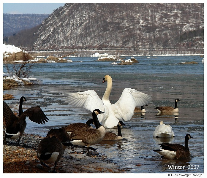 Winter Care for Swans