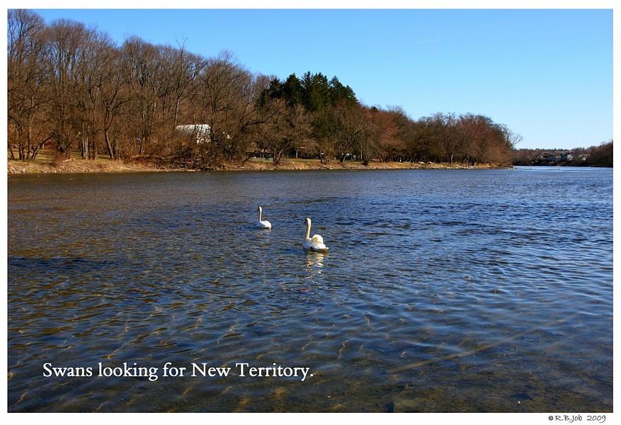 Swans New Territory