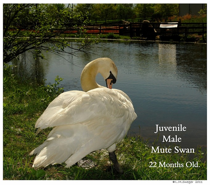 Mute Swan Two Years Old