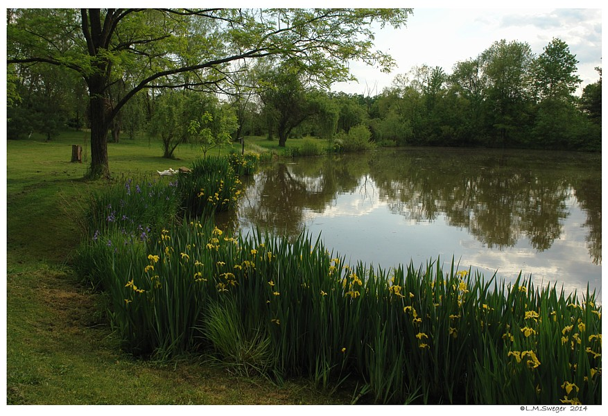 Country Swan Pond