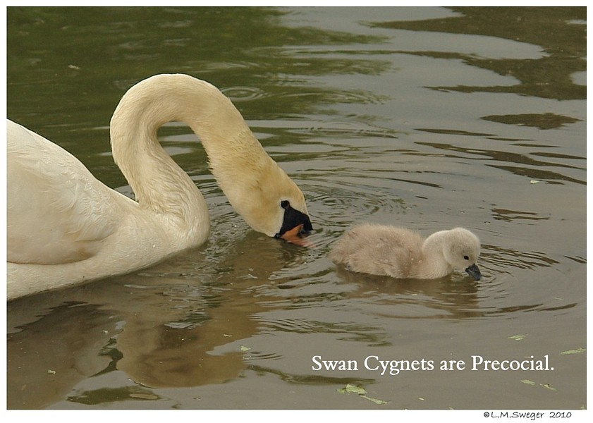 Cygnets are Precocial