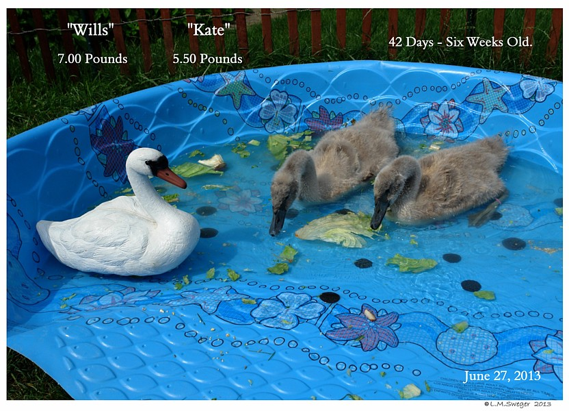 Growing Cygnets