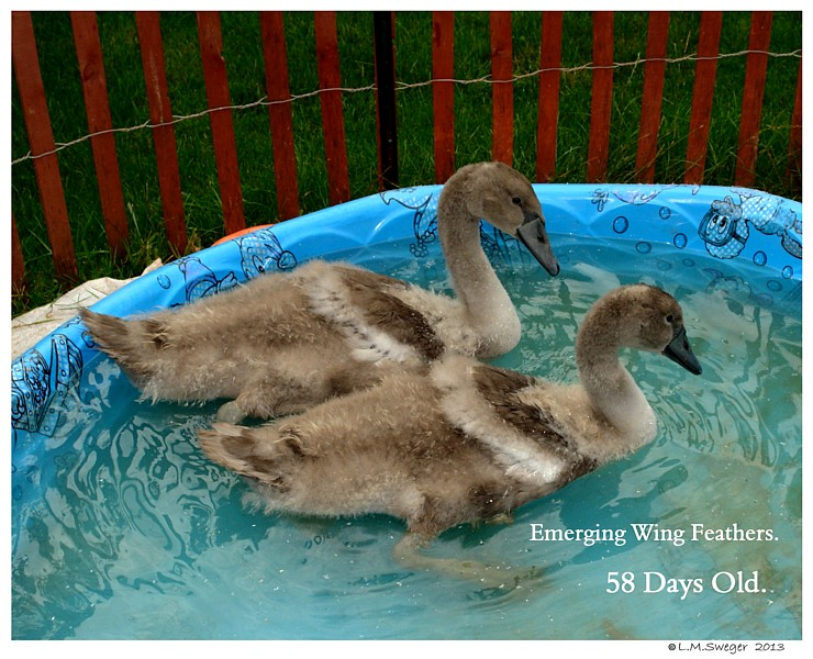 Cygnets Eight Weeks Old