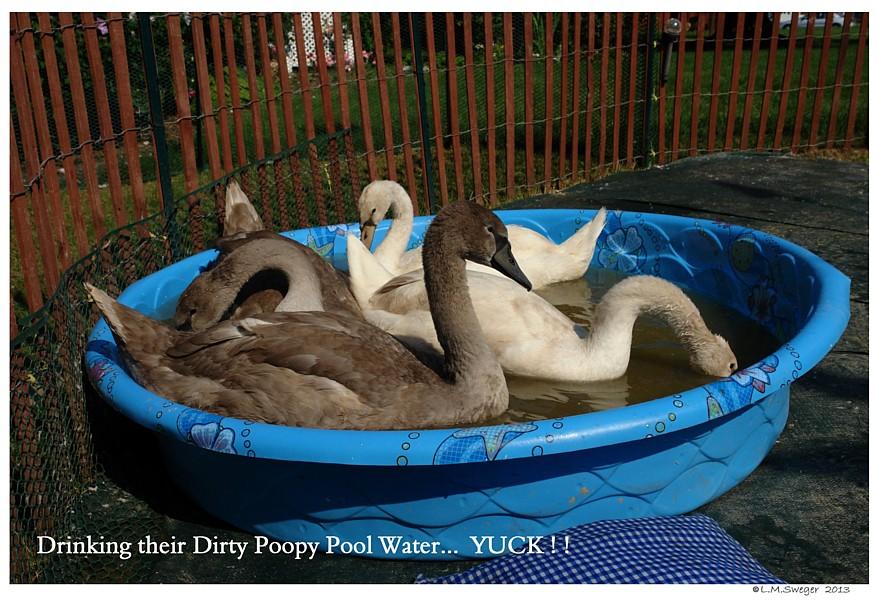 Swans Kidde Pool Poop