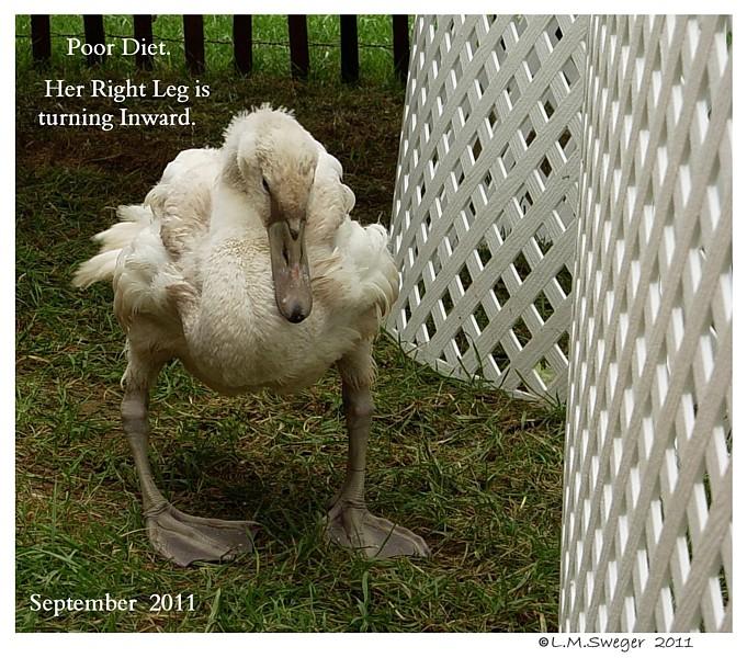 Swan Cygnet Poor Diet