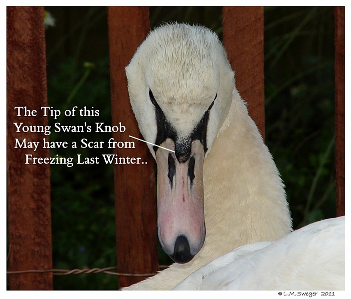 Swan Pink Knob Scar