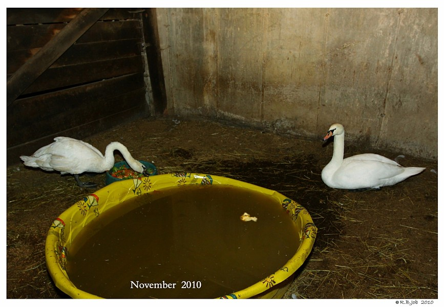 Mute Swan Winter Shelter