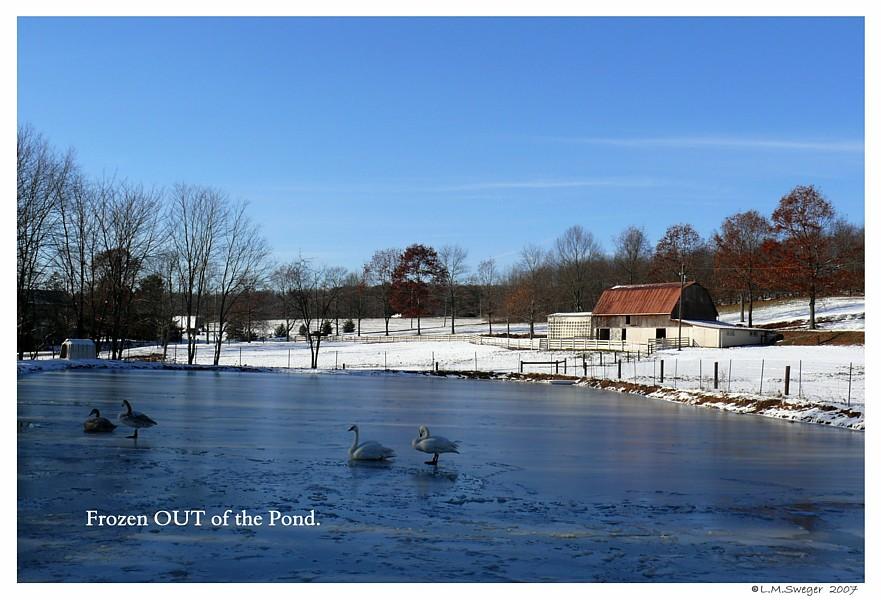 Swans Winter Farm