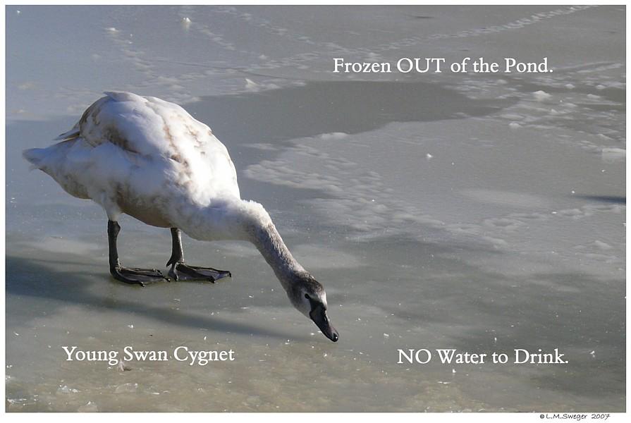 Swan Cygnet Winter
