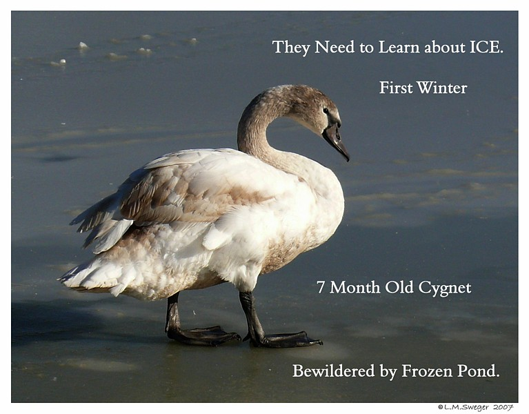 Swan Cygnet Winter