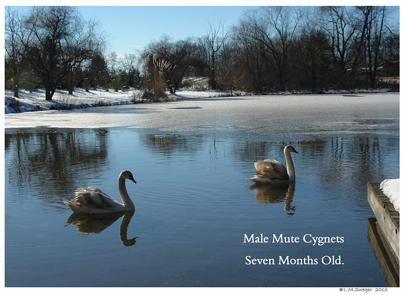 Cygnets Seven Months Old