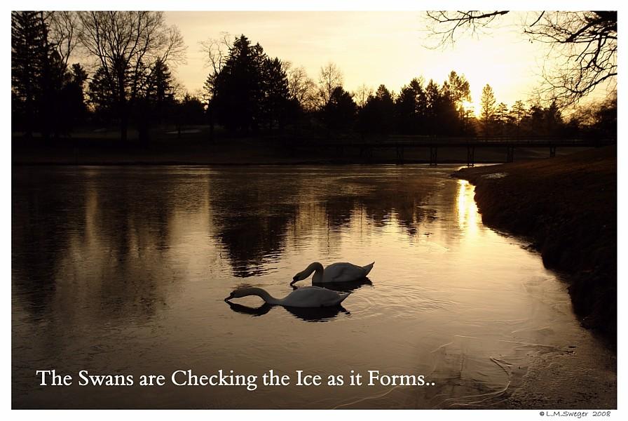 Winter Swan Care
