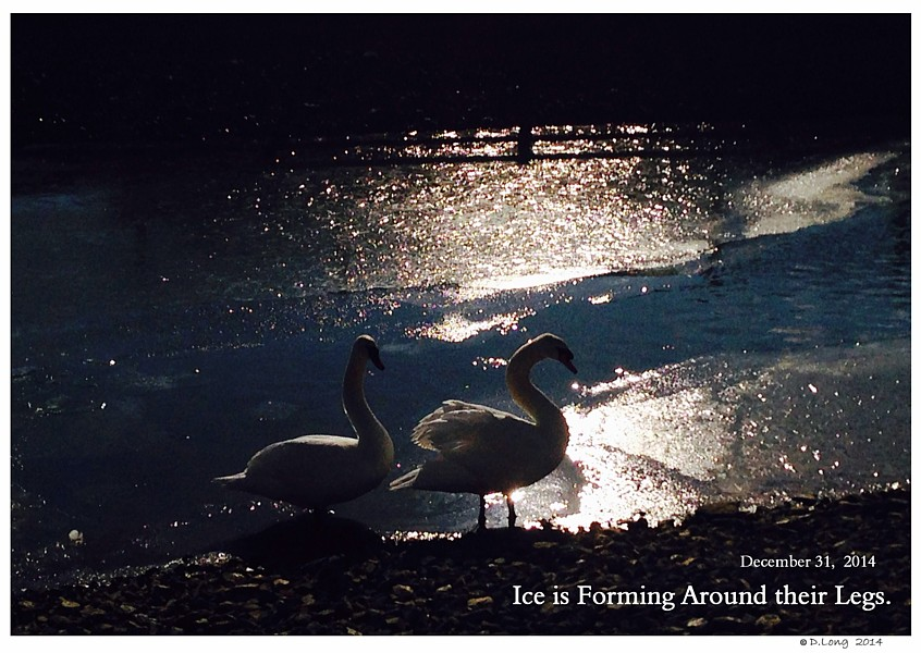 Winter Swan Care