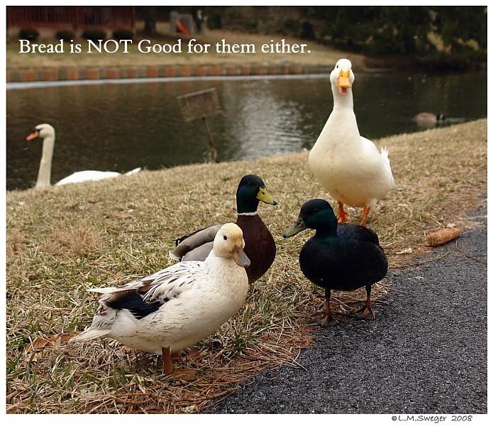NO Bread Poor Diet for Swans