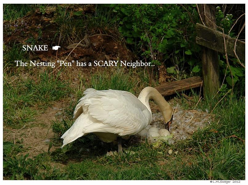 Swan Snake