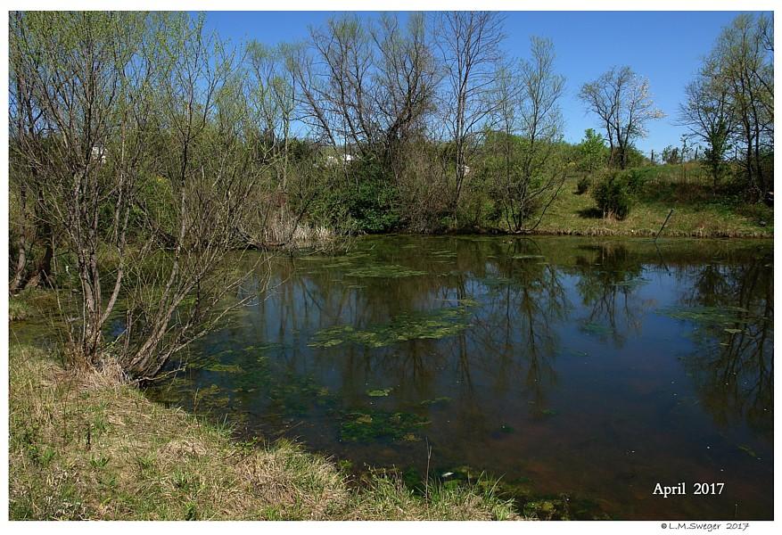 Natural Swan Pond