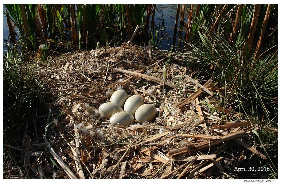 Mute Swan Clutch Eggs