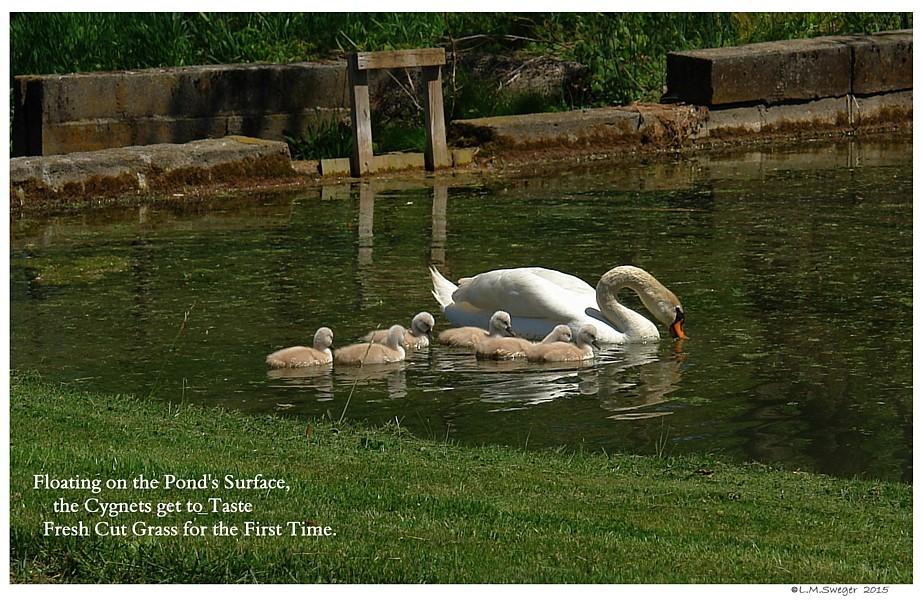 Swans Eat Grass