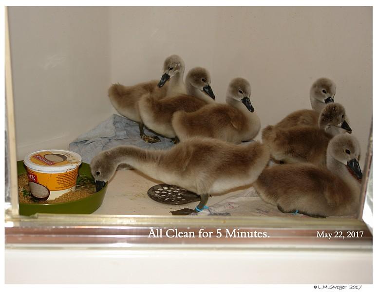 Feed Swan Cygnets