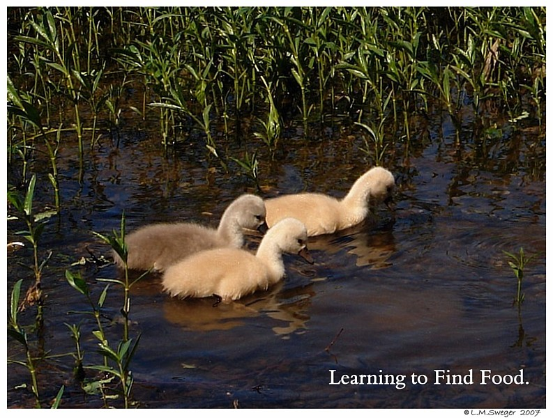 Cygnets Learn to Eat