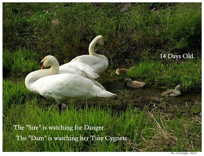 Swans Guarding Cygnets