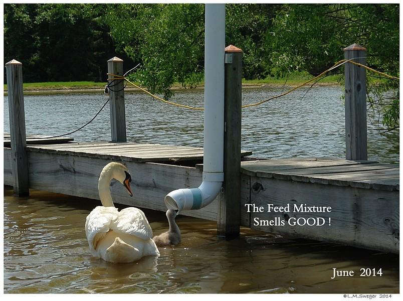 Swan Cygnet Feed