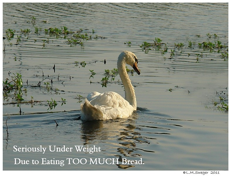 SWAN TOO Much Bread NO Bread Poor Diet for Swans