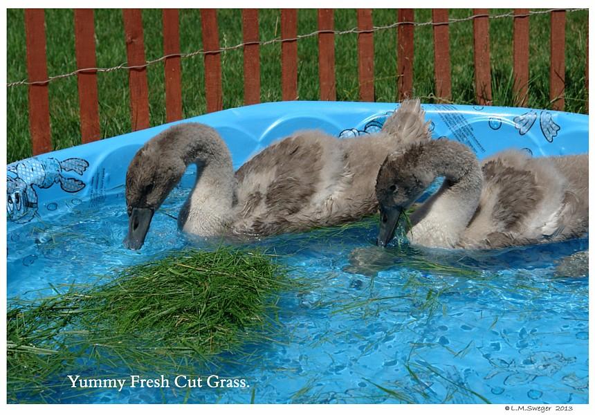 Swans Fresh Grass