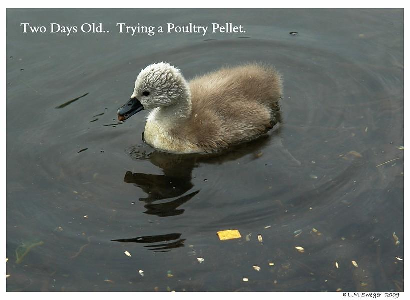 Feed Swan Cygnet