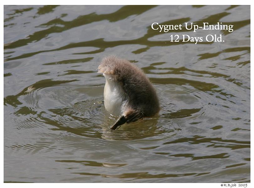 Swan Cygnet Up-Ending