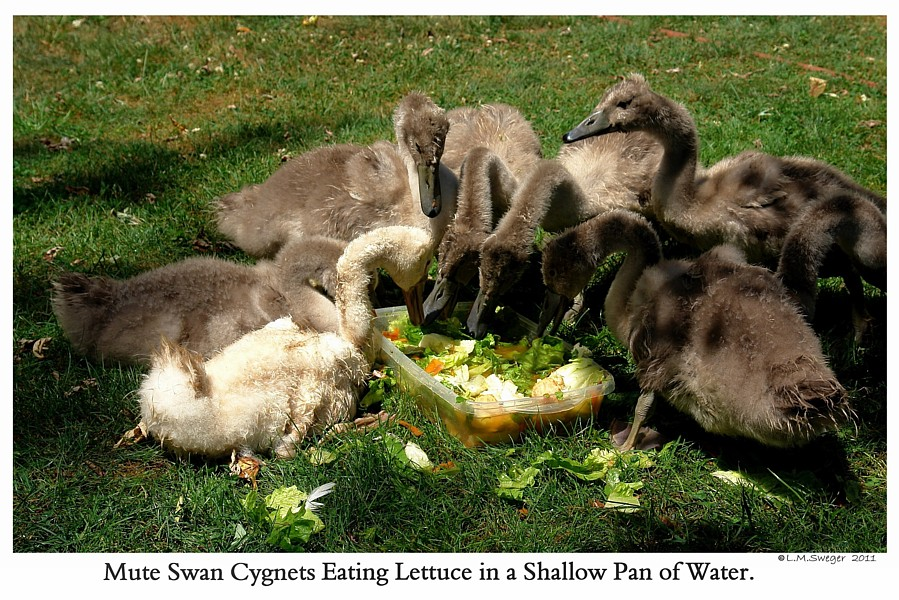 Swan Cygnets Eat Vegetables