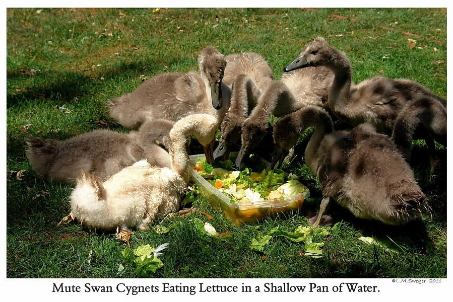 Swan Cygnets Eat Vegetables