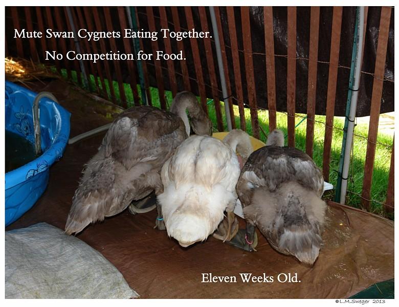 Cygnet Pecking Order