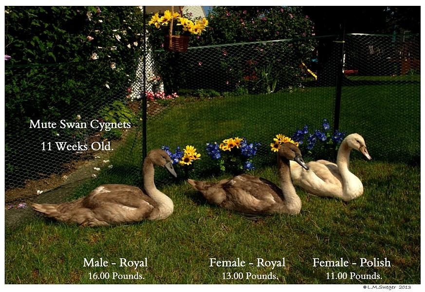 Mute Swan Cygnets 11 Weeks Old