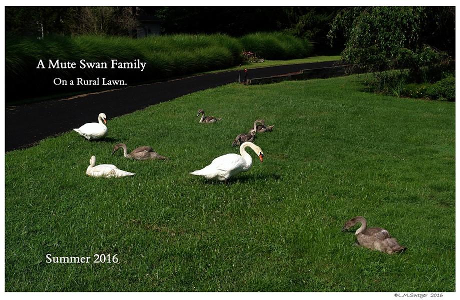 Mute Swan Family Grazing