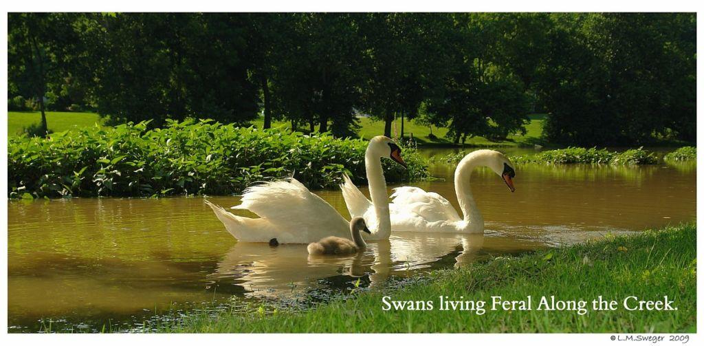 Feral Mute Swan Family