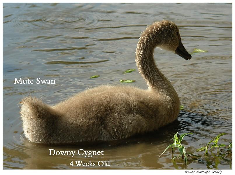Downy Swan Cygnet