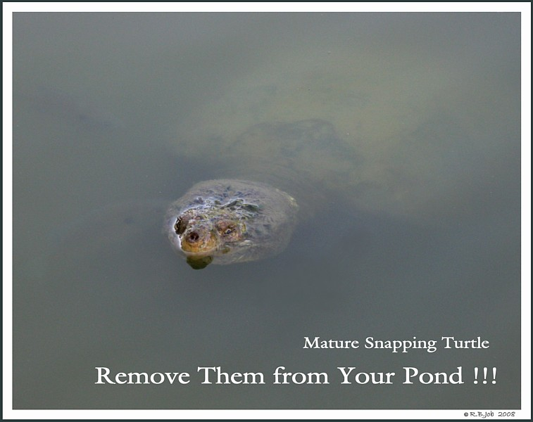 Swan Snapping Turtle
