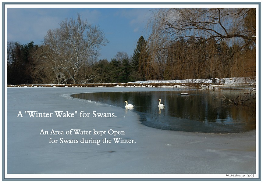 Swan Winter Wake