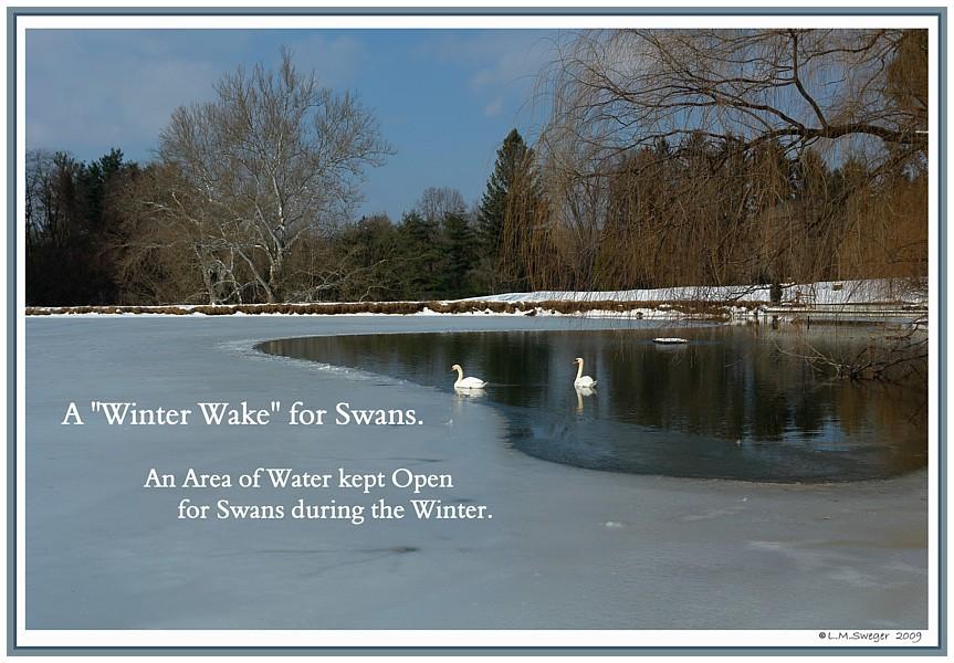 Swan Winter Wake