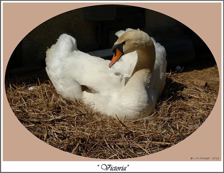 Nesting Mute Swan Victoria