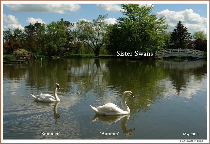 Female Mute Swan Sisters  Summer Autumn