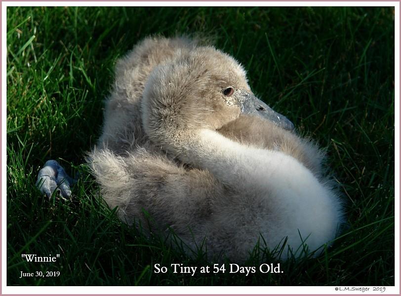 Rescued Mute Swan Cygnet Winnie