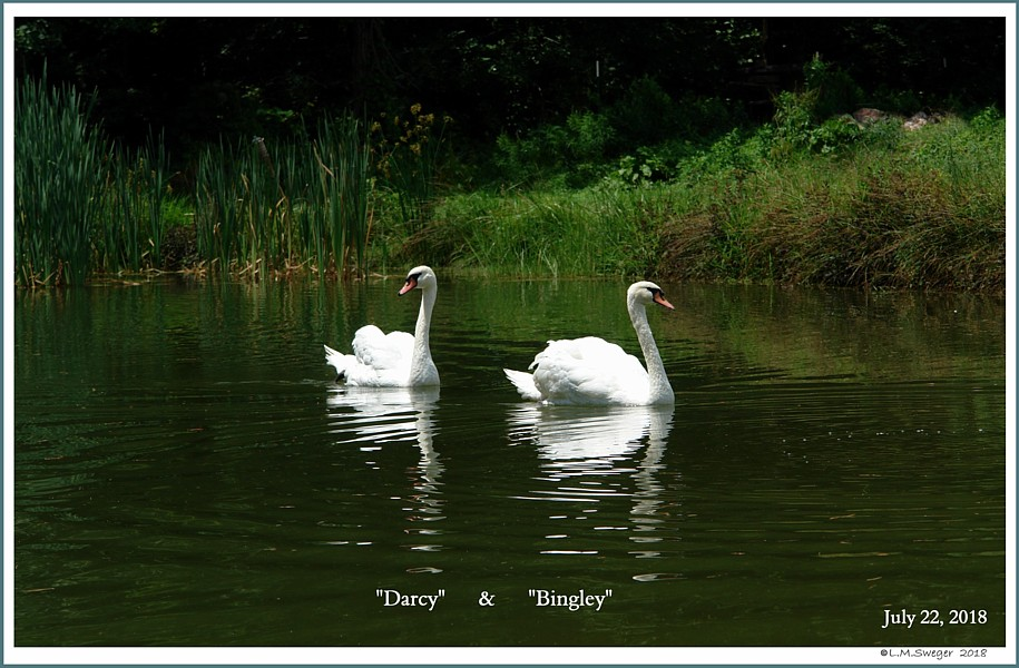 Male Mute Swans  Darcy  Bingley