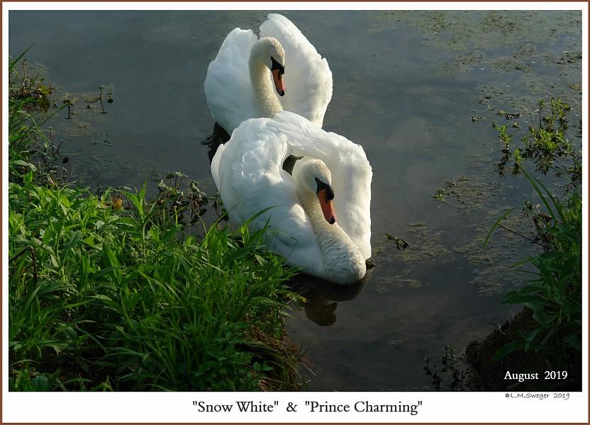 Mute Swan Pair  Snow White  Prince Charming