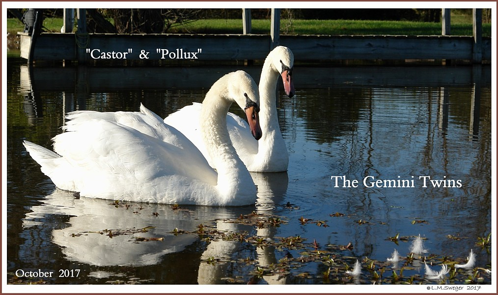 Male Swans Castor Pollux