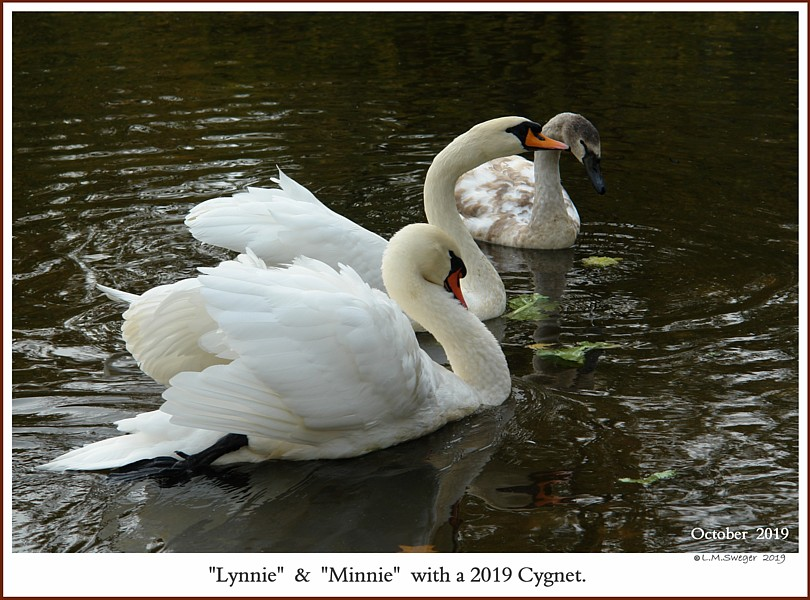 Mute Swan Family  Minnie  Lynnie