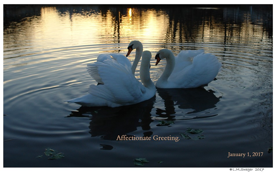 Swans Affection Greeting